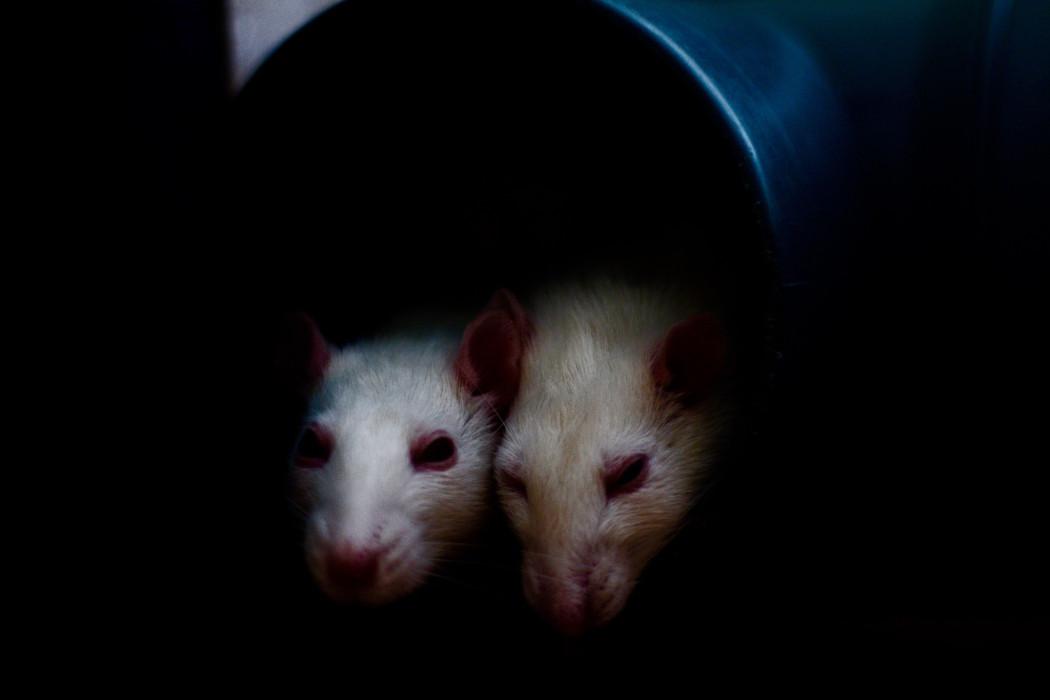 rats-plague